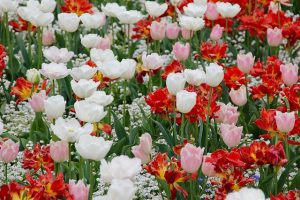 tulip landscape gardeners sydney