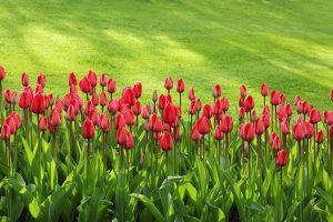 tulips garden services sydney