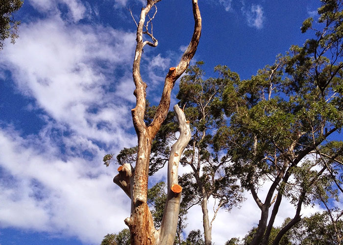 Tree Pruning Crows Nest by Northside Tree & Garden Services